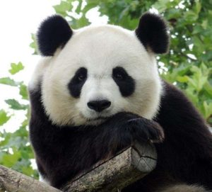 Orient Display: Panda Black OGS